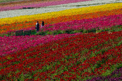 Couple in Flower Fields Stock Photos