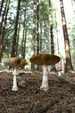 Couple of fly agarics Royalty Free Stock Image