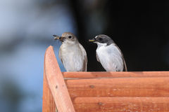 Couple of Flycatchers on nestling box Royalty Free Stock Photos