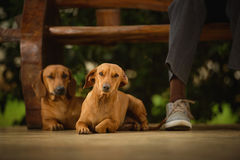 Couple Of Friends Dogs Royalty Free Stock Photo