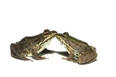 Couple of frogs. Couple of kissing frogs on a white background Royalty Free Stock Photos