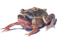 Couple of frogs. Couple of mating frogs with big eyes isolated Stock Image