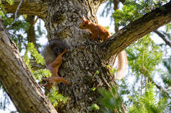 A couple frolicking squirrels on the trunk of  spruce. Royalty Free Stock Images