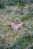Couple of frozen leaves in cold grass Royalty Free Stock Photos