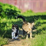 Couple of funny cute cats walking along the path in the spring. A couple of funny cute cats walking along the path in the spring Sunny garden royalty free stock photo