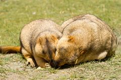 Couple of funny marmots on the green grass royalty free stock photo