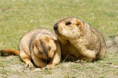 Couple of funny surprising marmots on the green grass stock photos