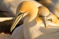 Couple of gannets. A loving couple of gannets Royalty Free Stock Images