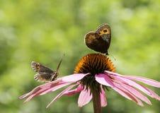 Couple of Gatekeeper butterflies stock images