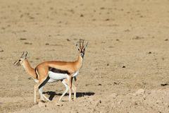Couple of gazelles of Thompson Royalty Free Stock Photography