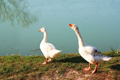 Couple geese Royalty Free Stock Image