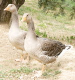 Couple of Geese Royalty Free Stock Photo