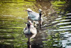 Couple of geese with cub swimming on the lake Royalty Free Stock Photos