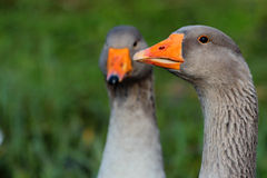 A couple of geese. A couple of domestic geese on green background Royalty Free Stock Photos