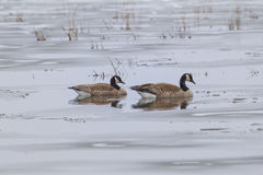 Couple of geese in partly frozen lake. Stock Photos
