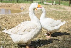 A Couple of geese with red beaks making a heart with their necks. Walking in a farm near pond Stock Images