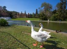 Couple of geese in Villa Serra di Comago park, Genoa. Genova, Italy, Europe stock photos