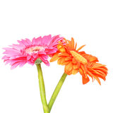 A couple gerber daisy. A pair of natural Gerbers on isolated white Royalty Free Stock Photography