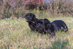 Couple of the Giant Black Schnauzer Stock Photography