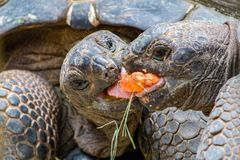 Giant Tortoises Feeding. A couple of Giant Tortoises fighting over a mouthful of food Royalty Free Stock Photography