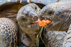 Giant Tortoises Feeding. A couple of Giant Tortoises fighting over a mouthful of food Stock Photography