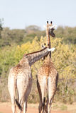 Couple of giraffe Stock Image