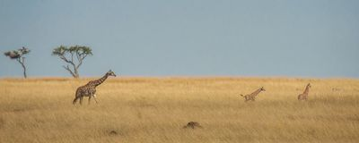 A couple of giraffe calves frolicking in the savannah with an adult watching over them. Masai Mara, Kenya royalty free stock photography