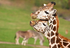 Couple of giraffe eating Stock Images
