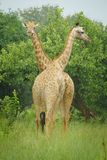 A couple of giraffe with green background stock photography