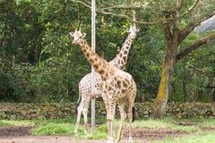 Couple of giraffe. 2 giraffe looking into camera Stock Photo