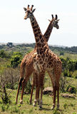 Couple giraffe Royalty Free Stock Images
