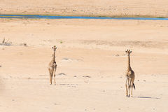 Couple of Giraffe walking in the bush on the desert pan, daylight. Wildlife Safari in the Etosha National Park, the main travel de Royalty Free Stock Photos