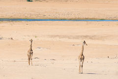 Couple of Giraffe walking in the bush on the desert pan, daylight. Wildlife Safari in the Etosha National Park, the main travel de Stock Images