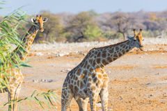 Couple of Giraffe walking in the bush on the desert pan, daylight. Wildlife Safari in the Etosha National Park, the main travel de Stock Photo