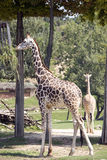 Couple of giraffe in the zoo Stock Images