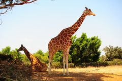 Couple of Giraffes. Couple Of Reticulated Giraffes, Girafa Camelopardalis Reticulata Stock Photos