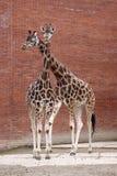 Couple of a giraffes Stock Photography
