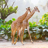 Couple giraffes. Two giraffes(couple) are walking close to each other in the zoo Stock Images