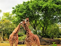 Couple of Giraffes. Two reticulated giraffes showing affection in a South Florida zoo Royalty Free Stock Photos