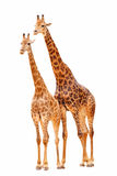 Couple giraffes. A pair giraffes(couple) in white background Stock Photo