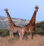 Couple of giraffes. Male and female - in Polokwane Nature Reserve in Limpopo Province, South Africa Royalty Free Stock Photography