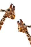 Couple of giraffes Stock Image