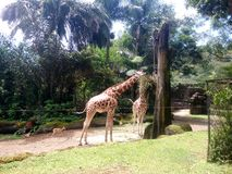 A couple of giraffes eat from trees in forest royalty free stock image
