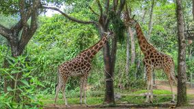 Couple of giraffes Royalty Free Stock Images