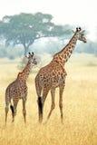 Couple of giraffes (Giraffa camelopardalis) walking in Serengeti Tanzania Stock Photography