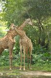 Giraffes in Singapore Zoo royalty free stock photos