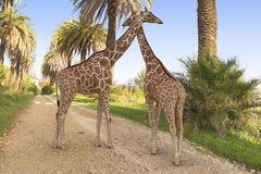 Couple of giraffes Royalty Free Stock Photography