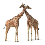 Couple of giraffes Stock Images