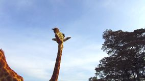 Couple of giraffes in savannah at Africa. Animal, nature and wildlife concept - couple of giraffes in savannah at africa stock video footage