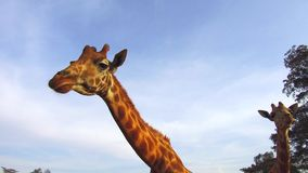 Couple of giraffes in savannah at africa. Animal, nature and wildlife concept - couple of giraffes in savannah at africa stock video